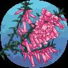 Pink Heath